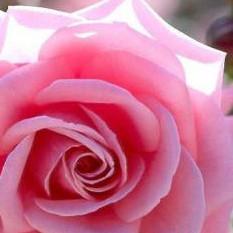 blu rosa profumo